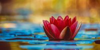 water-lily-3784022_1920